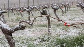 Snow covered vineyards bordeaux vineyards, Langoiran, France
