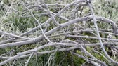 sakin : Hoar frost in Bordeaux vineyard, France
