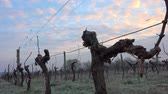 Hoar frost in Bordeaux vineyard, France