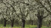 ameixa : Agriculture, beautiful blosoming plum fruit trees in orchard, Lot et Garonne, 47