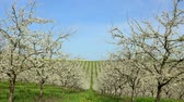 szilva : Agriculture, beautiful blosoming plum fruit trees in orchard, Lot et Garonne, 47