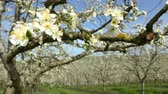 Agriculture, beautiful blosoming plum fruit trees in orchard, Lot et Garonne, 47