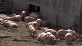 sows : Pig farm with many pigs Stock Footage