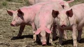 focinho : Pig farm with many pigs Stock Footage