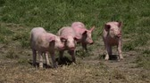 adormecido : Pig farm with many pigs Stock Footage
