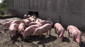 Pig farm with many pigs Stock Footage