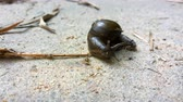 sluggish : snail crawling on concrete road Stock Footage