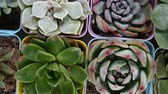 мясистый : top view of different kinds of succulent plants Стоковые видеозаписи