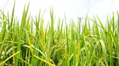 fresh green paddy on the field in a day time