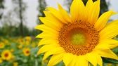 sunflower field : honey bee collecting pollen on a blooming sunflower Stock Footage
