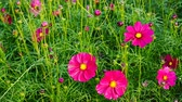 肥沃 : rose red daisy or Cosmos bipinnata Cav 動画素材