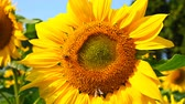 sunflower field : honey bee collecting pollen on a blooming sunflower horizontal composition Stock Footage
