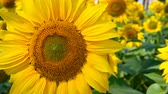 тычинки : honey bee collecting pollen on a blooming sunflower in the field horizontal composition