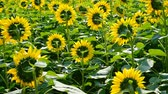 тычинка : sunflower field against the light