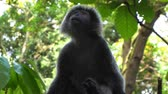 simio : Black gibbon monkey in zoo