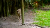 cheetah : Cheetah walking in zoo Stock Footage