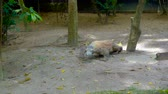 singapore : Komodo dragon reptile in zoo Stock Footage