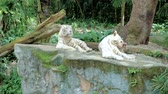 Бенгалия : White tigers in zoo