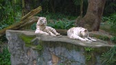虎猫 : White tigers in zoo