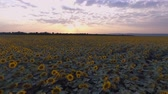 Sunset on the field of sunflowers. Flying on a quadcopter Wideo