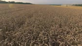 reap : Flight over the wheat field during harvest. Quadcopter flying over the farm