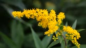 meal : Flowering goldenrod in August. Swaying on low wind yellow flowers on a green background foliage close up