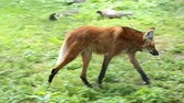 america : maned wolf (Chrysocyon brachyurus) is the largest canid of South America, resembling a large fox with reddish fur. Walking around the grounds