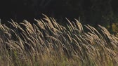 метелка : Cane with yellow panicle in the sun on the dark background of the forest. Swaying in the light breeze