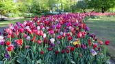 tulip flower : Blooming summer European garden park, the Netherlands. HD Footage. Stock Footage