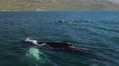 кит : Whales on water in gulf of Iceland. Slow Motion Footage. Стоковые видеозаписи