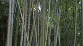 шуй : Bamboo Forest blowing in the Wind