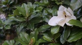 makro : Beautiful white magnolia flower in a garden close-up Wideo