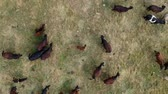 pasturage : Flying over the cows herd with calf in the center Stock Footage