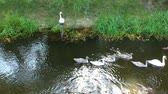 leading : Swan family swimming in city park lake.