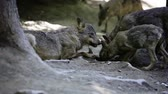 teeth : wolf pack eating meat (shallow DOF)