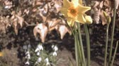 jonquil : Closeup on yellow daffodil flowers wild growing on wind. Handheld camera moves up from ground.