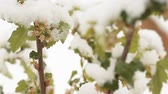 apricot : Snowing in April. Snow covered the blossoming fruit trees