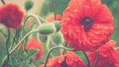 размыто : Decorative red poppy flowers and some green buds in background in windy spring day, close up, 4K 3840 x 2160 ultra high definition footage Стоковые видеозаписи