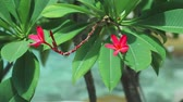 wiggle : Vivid red petals and stems of blossom plumeria or frangipani wiggle on the wind breeze. Blue ocean water ripples on background