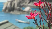 плюмерия : Vivid red blossom plumeria flowers in front of the ocean bay with some huge granite rocks and defocused long tail boat wiggle in the wind