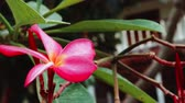 perfumy : Frangipani flower near resort moving by ocean breeze