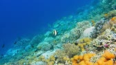 そのまま : Intact coral wall with high density of reef fish. Moorish Idol