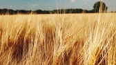 cerceta : Golden ripe ears of wheat against the blue sky with white clouds. Full HD 1080p Slowmo slow motion