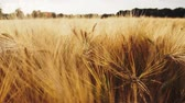 kłosy : Golden ripe ears of wheat against sun light flares. Full HD 1080p Slowmo slow motion