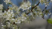 bokeh : Flowering branches of plum in spring in the garden, swaying in the wind Stock Footage