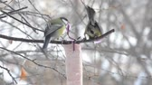 tied up : Birds, the great tit pecking the fat, tied to a tree branch in winter