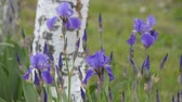 fragility : Blooming in nature, blue irises