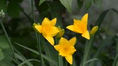 fragility : Flowering yellow daylilies in the garden