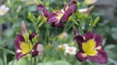 темно бордовый : Blooming beautifully, dark two tone daylilies Стоковые видеозаписи