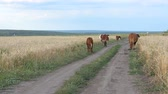 среда : Cows grazing in a roadside field